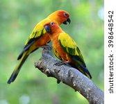 Sun Parakeet Or Sun Conure ...