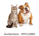 Stock photo english bulldog breed dog and pretty tabby cat sitting together over white 399112885