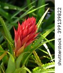 Small photo of This Aechmea germinyana is a genus in the botanical family Bromeliaceae, subfamily Bromelioideae. This plant is endemic to South America.