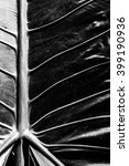 Small photo of closeup of Alocasia macrorrhizos leaf for background.