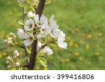 close up of pear tree branch... | Shutterstock . vector #399416806
