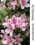 Pink Rhododendron Blooming ...