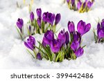 Spring Crocus In The Snow  Lit...