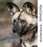 Small photo of African Wild Dog portrait