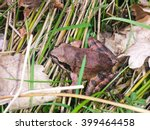 Small photo of Scared Frog Trying To Escape From My Camera. Frog photographed in a grass between leaves.