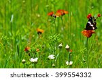 Red Spotted Admiral Butterfly...