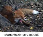 Sleepy Red Fox Yawns