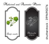 alchemilla vulgaris  common... | Shutterstock .eps vector #399690076