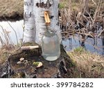 Collecting Birch Sap With...