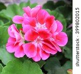beautiful geranium flower | Shutterstock . vector #399802015