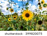 Wild Sunflowers  Helianthus ...