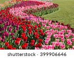 Colorful Tulips At The Mt....