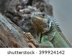 common green iguana resting on... | Shutterstock . vector #399924142