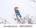 Small photo of Lilac-breasted roller (Coratias caudata) perched on a acacia branch against blue sky