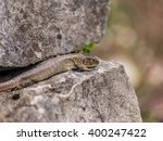 Lizard Resting On A Wall In Th...