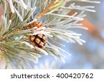 Spruce Branch With Cones...