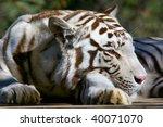Closeup Of A Sleepy White Tige...