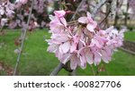 Pink plum blossoms in the garden - stock photo