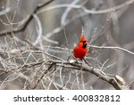 The Northern Cardinal Is A...
