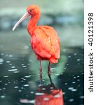 Scarlet Ibis In Water With...