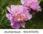 Peonies Pale Pink And Lilac...