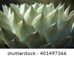 Sharp Pointed Agave Plant...