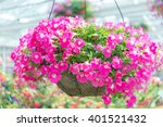 Pink Petunia In Pot In Miracle...