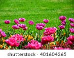 Double Late Tulip In Garden