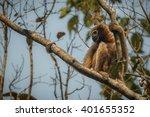 hoolock gibbon high on a tree...   Shutterstock . vector #401655352