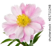 pink peony flower with yellow... | Shutterstock . vector #401711248
