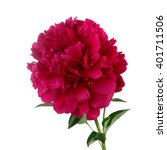Small photo of Claret peony flower isolated on white background