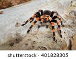 Birdeater Tarantula Spider...