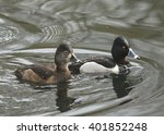 Ring Necked Duck  Male And...