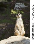meerkat  | Shutterstock . vector #401920072