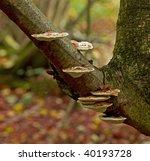 Bracket Fungi In Woodland