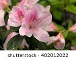 Rhododendron's Pink White...