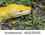 Albinos Boa Constrictor  Boa...