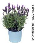 The Plant Bush A Lavender In...
