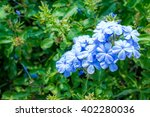 Plumbago Flower  Leadworth...