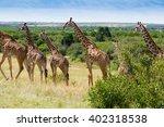 Herd Of Giraffes In Masai Mara...