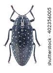 beetle julodis matthiesseni on... | Shutterstock . vector #402356005