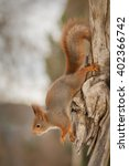 Red Squirrel On A Tree Trunk...