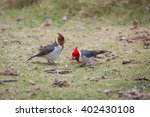 Two Birds Red Crested Cardinal...