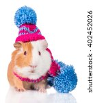 Funny Guinea Pig Dressed In A...