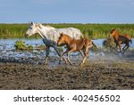 white camargue horses with... | Shutterstock . vector #402456502