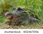 Small photo of alligator in texas