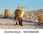 Fox at Island Beach State Park, NJ