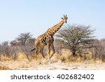 Male Giraffe Walking In Africa...