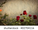 Stock photo red rose bushes next to the wall of an old abandoned house 402704116