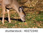 Portrait Of A Young Deer Eatin...